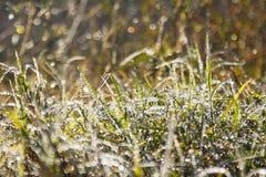 Erba verde con rugiada Immagini Stock
