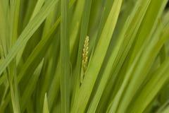 Erba verde con un orecchio Fotografia Stock Libera da Diritti
