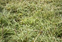 Erba verde coperta di brina bianca, primo piano Fotografie Stock Libere da Diritti
