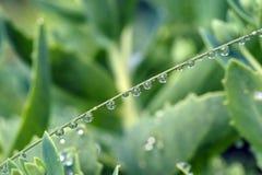 Erba verde coperta di gocce di rugiada delle goccioline di acqua Fotografia Stock Libera da Diritti