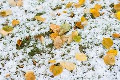 Erba verde coperta di neve e di foglie gialle cadute Fondo, luce di caduta e colore variopinti autunnali Immagini Stock