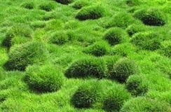 Erba verde decorativa, tenuifolia di Zoysia Immagini Stock Libere da Diritti