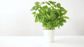 Erba verde del basilico in vaso sulla tavola video d archivio