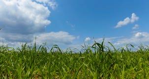 Erba verde del foraggio Immagini Stock