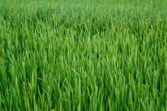 Erba verde del frumento Fotografie Stock