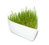 Erba verde del frumento su Ba isolato bianco Fotografia Stock