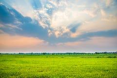 Erba verde del giacimento del riso Fotografie Stock Libere da Diritti