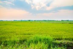 Erba verde del giacimento del riso Immagini Stock