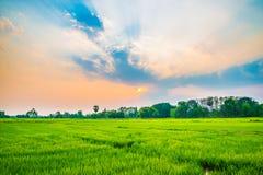 Erba verde del giacimento del riso Fotografia Stock