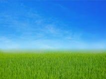 Erba verde del giacimento del riso con cielo blu Fotografia Stock