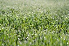 Erba verde del grano con le gocce di acqua Tiri del grano su un campo alla luce solare fotografie stock libere da diritti
