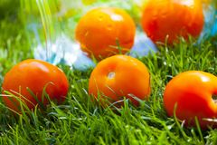 Erba verde del pomodoro del giardino giallo di estate Fotografia Stock