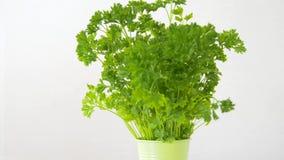 Erba verde del prezzemolo in vaso sulla tavola stock footage