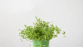 Erba verde del timo in vaso sulla tavola video d archivio