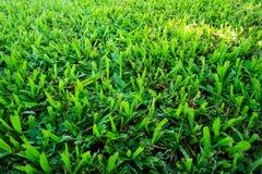 Erba verde della Malesia Immagine Stock