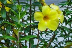 Erba verde della natura gialla del fiore Fotografia Stock Libera da Diritti