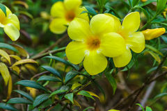 Erba verde della natura gialla del fiore Immagine Stock