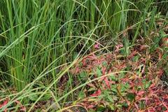 Erba verde della palude Fotografia Stock