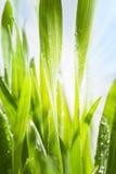 Erba verde della sorgente Fotografia Stock Libera da Diritti