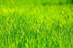 Erba verde della sorgente fresca Fotografia Stock Libera da Diritti