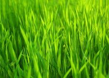 Erba verde della sorgente fresca. Priorità bassa naturale dell'erba Immagini Stock