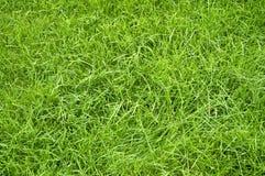 Erba verde di estate Immagine Stock