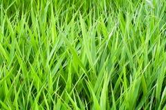 Erba verde di estate Fotografia Stock