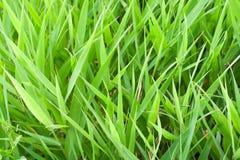Erba verde di estate Immagini Stock