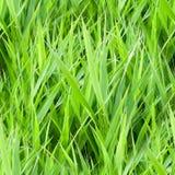 erba verde di estate senza cuciture natura, struttura Fotografie Stock