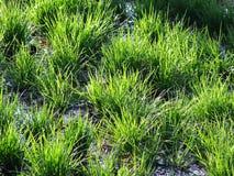 Erba verde di frumento fotografia stock libera da diritti