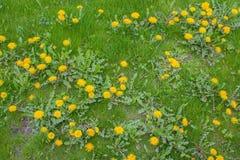 Erba verde e denti di leone di fioritura Immagine Stock
