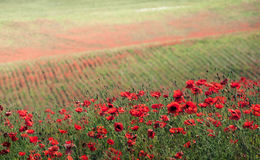 Erba verde e fiori rossi Fotografia Stock