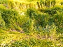 Erba verde e gialla Immagini Stock