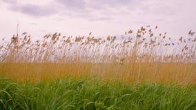 Erba verde e gialla del paesaggio di autunno sul campo e sul paesaggio grigio del cielo nuvoloso video d archivio