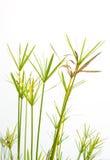 Erba verde e gialla dell'isolato bianco Fotografia Stock
