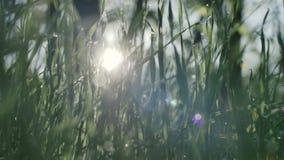 Erba verde e gocce della rugiada di mattina video d archivio