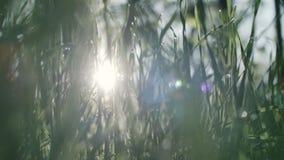 Erba verde e gocce della rugiada di mattina archivi video