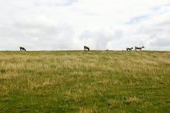 Erba verde e pecore Immagine Stock