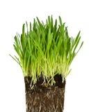 Erba verde e radici fotografie stock libere da diritti