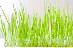 Erba verde e rugiada fotografie stock libere da diritti