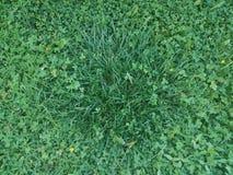 Erba verde e trifogli ed erbacce Immagini Stock