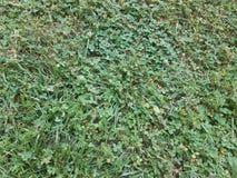 Erba verde e trifogli su prato inglese o erba Immagine Stock Libera da Diritti