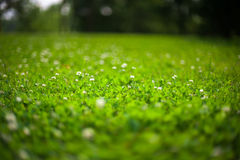 Erba verde e trifoglio Immagine Stock