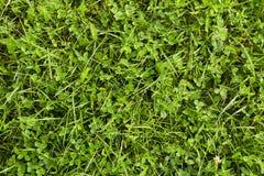Erba verde e trifoglio sul campo Immagini Stock Libere da Diritti