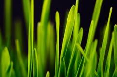 Erba verde fertile Immagini Stock Libere da Diritti