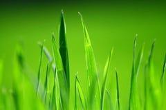 Erba verde fertile Fotografie Stock