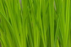 Erba verde fertile Fotografie Stock Libere da Diritti