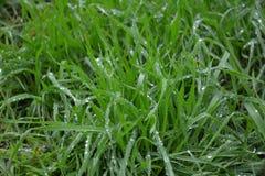 Erba verde fertile con le gocce di rugiada Fotografie Stock Libere da Diritti