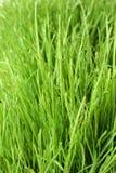 Erba verde fresca Fotografia Stock