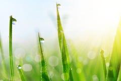 Erba verde fresca con il primo piano delle gocce di acqua Fotografie Stock Libere da Diritti
